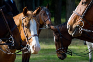 A Huufe gathering of horses - equestrian lifestyle