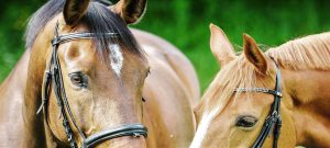Chestnut and bay horse in bridles