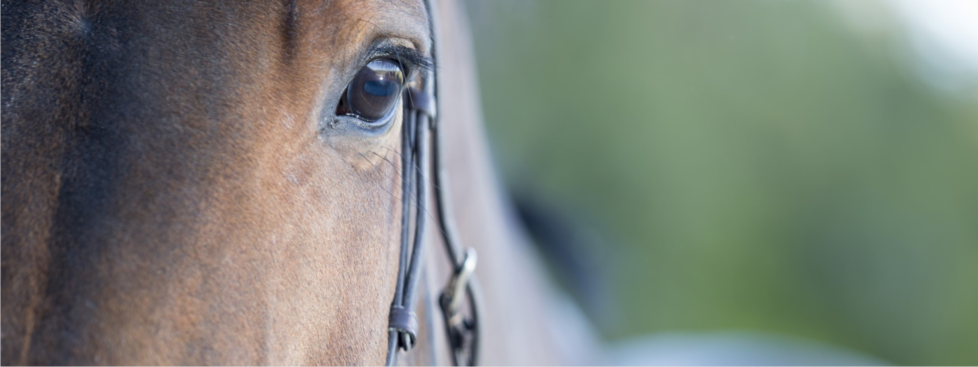 horse's eye with bridle