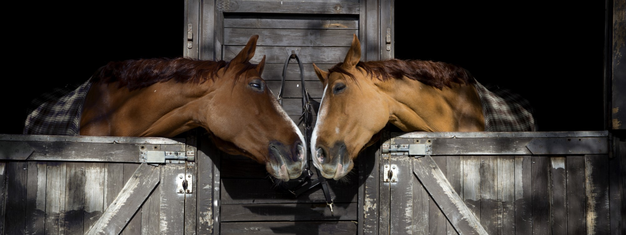 Two horse touch noses