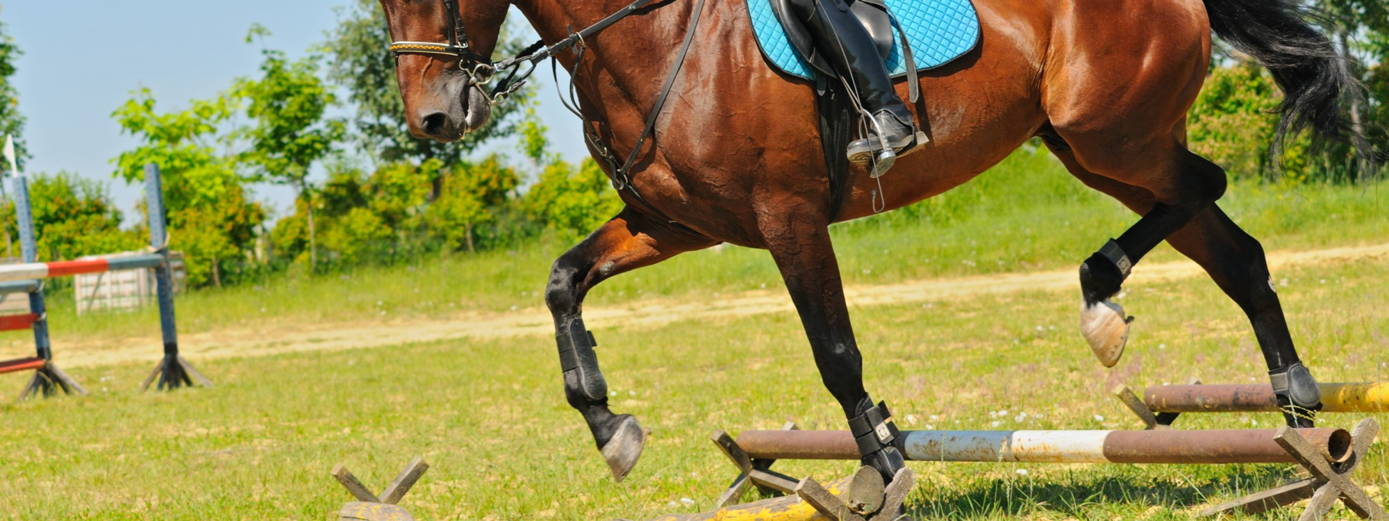 bay horse trotting over poles