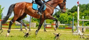 Horse going over trotting poles